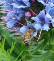 пчела медоносная на синяке