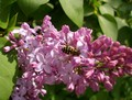 Сирень и пчела